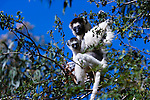 Verreaux's Sifaka, Madagascar (Vulnerable)