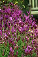 Lavandula stoechas 'Papillon', Spanish lavender flowering in garden