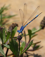 Familiar Bluet Damselfly (Enallagma civile) are medium-sized damselflies. Males are more blue than black as seen here.