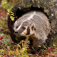 Badger walking out of a hollow log - CA