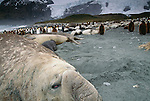 Southern elephant seals and king penguins, South Georgia Island