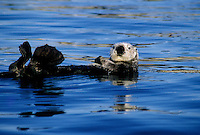 Southern Sea Otter (Enhdra Lutris  neris) in Elkhorn Slough near Moss Landing, California.
