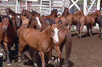 Rodeo Horses in a Holding Corral at the Williams Lake Stampede, British Columbia, Canada