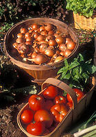 Heirloom Tomatoes Virginia Lady in garden basket with picked onions in basket, with lettuce, basil, scallions
