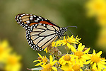 Monarch Butterfly, Danaus plexippus, El Rosario Nature Reserve, feeding on flower, probiscus, lifecycle metamorphosis orange yellow flower pattern wing.Mexico....