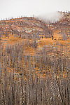 A large stand of dead trees from a wildfire rises above colorful understory in Hart's Pass, Washington State.