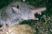 Hausspitzmaus, Haus-Spitzmaus, Zahn, Zähne, Gebiß, Gebiss eines Insektenfresser, Spitzmaus, Crocidura russula, Greater White-toothed Shrew