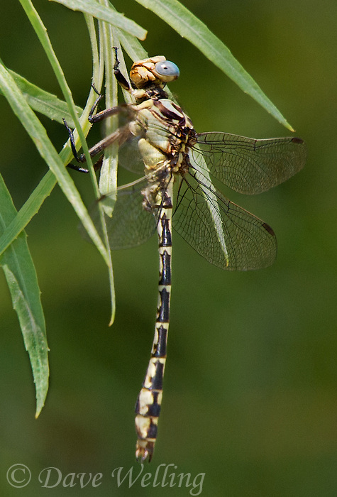 333990003 a wild male olive clubtail stylurus olivaceus perches on a plant leaf near bishop inyo county california
