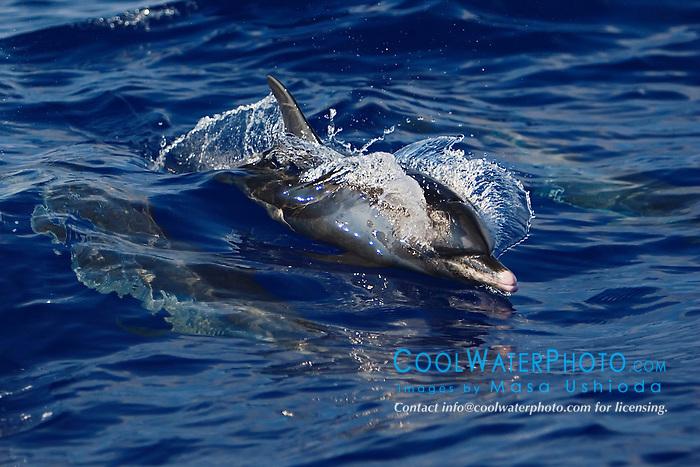 Pantropical Spotted Dolphin, Stenella attenuata, wake-riding, off Kona Coast, Big Island, Hawaii, Pacific Ocean