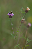 A bumblebee collects pollen from a centaurea nigra flower