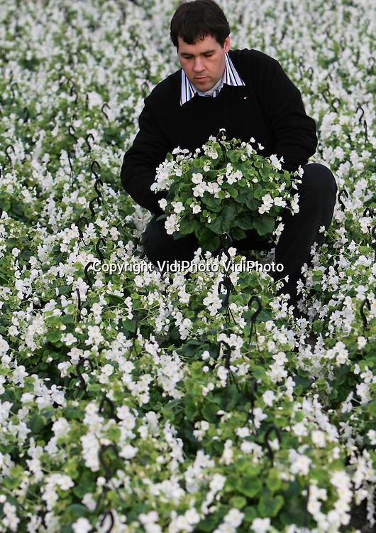 Foto: VidiPhoto..BEMMEL - Kweker Wilko Hofstede uit Bemmel 'oogst' zijn witte begonia loraine, een hangplant voor in de huiskamer. Hij is nog de enige ter wereld die deze 'ouderwetse' kamerplant kweekt. Hoewel het maar een piepkleine markt is (de afzet is zo'n 4500 planten per jaar) neemt de vraag de laatste paar jaar wel toe. Voordeel van deze begonia is dat de knoppen er in de winter niet afvallen.