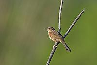 578680015 a wild male botteri's sparrow aimophila botteri perches on a dead stick in the madera grasslands near madera canyon pima county arizona united states