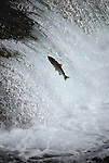 A sockeye salmon jumping a waterfall on Brooks River on its migration to its spawning grounds in Katmai National Park, Alaska.