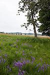 Bird Vetch (Vicia cracca) blooming in summer near Petosky in northwest Michigan, MI, USA