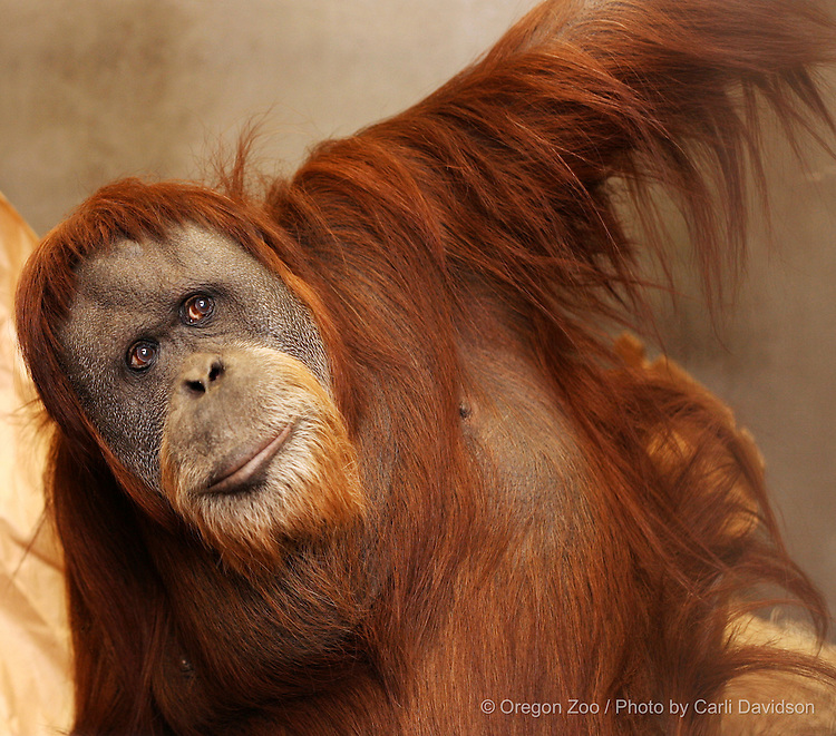 Bornean Orangutan (Pongo pygmaeus) Inji in her holding area at the Oregon Zoo.