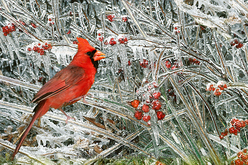 Male Cardinal (Cardenalis cardenalis) eating icicle covered coral berries in winter  Missouri USA America