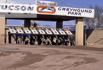 The start of a Greyhound race.