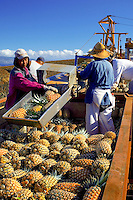 Plantation Field Workers harvest Freshly Picked Pineaples In Maui, Hawaii