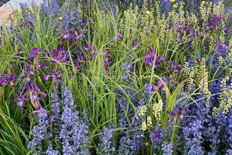 Nepeta And Irises Plant Flower Stock Photography