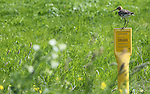 Foto: VidiPhoto<br /> <br /> VALBURG - Een grutto houdt donderdag vanaf een paaltje van de Gasunie met argusogen in de gaten wat er op een ongemaaid stuk grasland bij Valburg met zijn kuikens gebeurt. Zo'n 50 procent van de boeren in het agrarisch gebied rond het Midden-Betuwse dorp doet mee aan een financi&euml;le regeling voor uitgesteld maaien, een groot succes. Daardoor wordt er pas na het broedseizoen (tussen 1 juni en 1 juli) van weidevogels gras gemaaid. Hoe langer men wacht, hoe hoger de financi&euml;le compensatie van de overheid. De intensieve beheersregeling heeft als gevolg dat het aantal grutto's weer is toegenomen. Zo is er sprake van legselbeheer en de aanleg van fouragegreppels. Komend weekend vindt de offici&euml;le broedparentelling pas. Voor de veehouders in het gebied is de regeling financieel interessant omdat de grond vrij drassig en het gras over het algemeen van slechts kwaliteit is. Maaien in het broedseizoen kan niet alleen de nesten vernielen en jonge kuikens doden, maar zorgt er ook voor dat de dieren makkelijker te vinden zijn voor predators als eksters, kraaien, ooievaars en vossen. Volgens de Vogelbescherming neemt het totaal aantal grutto's in Nederland echter nog steeds af. De dieren worden ernstig bedreigd door tal van factoren. Vorig jaar, het slechtste vogeljaar ooit, waren er minder dan 40.000.