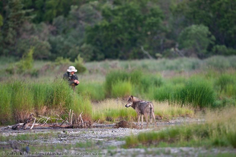 Gray wolf approaches fisherman on the Brooks river, Katmai National Park, southwest, Alaska.