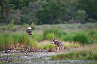 Gray wolf approaches fisherman on the Brooks river, Katmai National Park, southwest, Alaska.