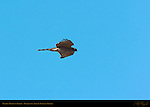 Prairie Merlin in Flight, Bosque del Apache Wildlife Refuge, New Mexico