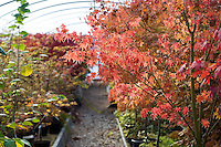 Acer Palmatum 'Fall Fire' in the Polytunnel