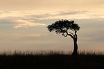 Africa, Kenya, Masai Mara. A lone Acacia Tree silhouetted on the Mara.
