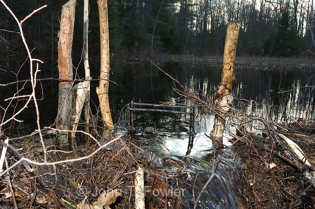 Conibear humane trap set for beaver