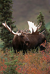 Portrait of bull moose in Denali National Park, Alaska.