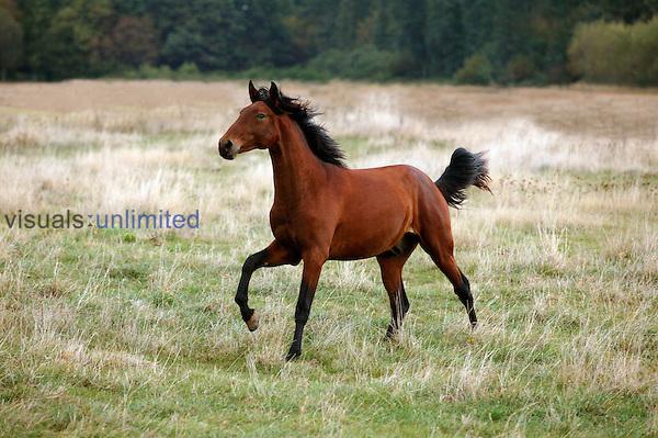 Lusitano Horse stallion running