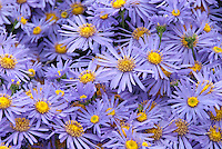 Aster amellus 'King George' in autumn fall flowers