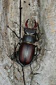 A Stag Beetle (Lucanus cervus) on dead wood, Italy.