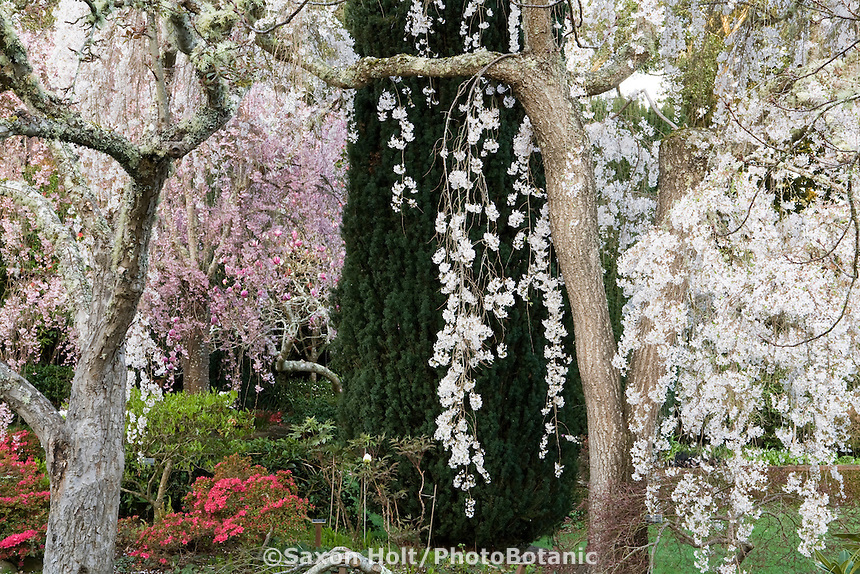 Spring flowering cherry trees in Filoli Wall Garden