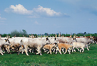 Cattle on the Great Hungarian Plain at Bugacz in Hungary