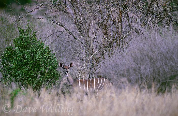 652209002 a wild rare lesser kudu tragelaphus imberbis partially hidden in tall dry grass in tsavo national park kenya