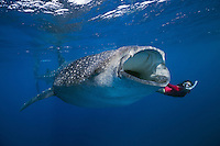 RX2331-D. Whale Shark (Rhincodon typus) feeding on fish eggs (transparent) floating just under the surface. These huge fish can grow to 50 feet long, but eat only small prey- plankton, shrimp, and occasionally small fish. Gulf of Mexico, Mexico, Caribbean Sea.<br /> Photo Copyright &copy; Brandon Cole. All rights reserved worldwide.  www.brandoncole.com