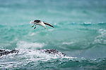 Kelp Gull hovering in search of food, De Hoop Marine Protected Area, Western Cape, South Africa
