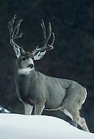 Mule Deer, Black-tailed Deer (Odocoileus hemionus), buck in snow, Rocky Mountain National Park, Colorado, USA