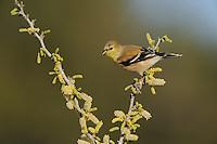 American Goldfinch (Carduelis tristis), adult on Blackbrush Acacia (Acacia rigidula), Dinero, Lake Corpus Christi, South Texas, USA