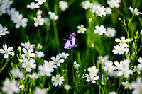 Greater Stitchwort and Bluebells growing, England