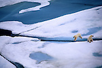 Polar bear cubs (Ursus maritimus), Canada