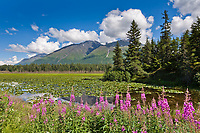 Fireweed and lily pads at Bear lake, Kenai mountains, Kenai Peninsula, southcentral, Alaska.