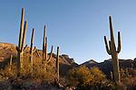 Saguaro (Carnegiea gigantea) and the Santa Catalina Mountains, Sabino Canyon Recreation Area, Coronado National Forest, Arizona