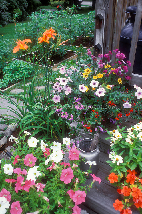 Deck steps with potted annuals Cuphea, zinnia, scaveloa, impatiens container garden and orange daylilies Hemerocallis fulva