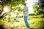Christine Kuratomi thins persimmon trees at Otow Orchard in Granite Bay, CA May 4, 2010.