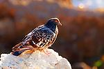Bird - Beach pigeon on a Rock, Wild Birds of Corona del Mar, CA.  Photo by Alan Mahood.