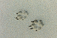 Dog pawprints on wet sandy beach at Spanish Point, County Clare, West Coast of Ireland