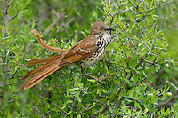 582000055 a wild long-billed thrasher toxostoma longirostre perched in a small tree on dos venadas ranch rio grande valley texas
